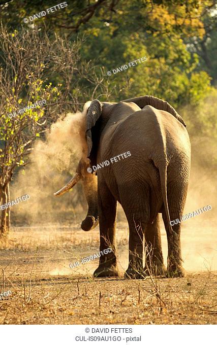 Bull elephant (Loxodonta africana) having dust bath, rear view, Mana Pools National Park, Zimbabwe