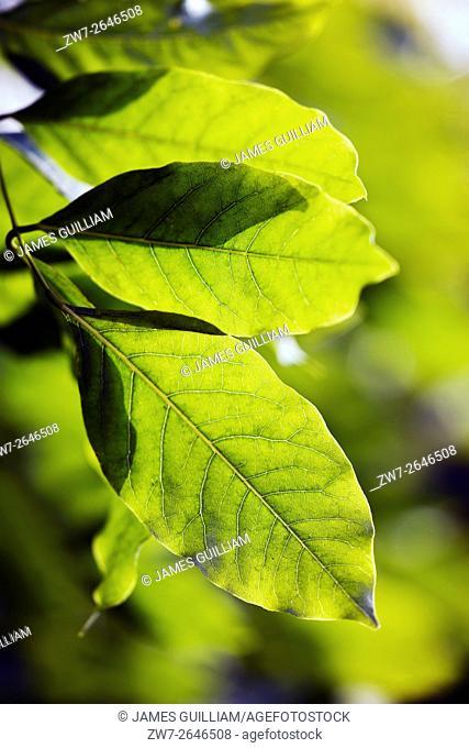 Sunlight through Wisteria leaves