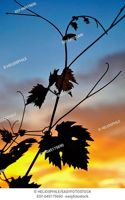 Vine leaves in sunset in France