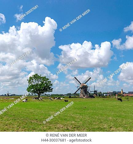Field with cows and the windmill called Doeshofmolen