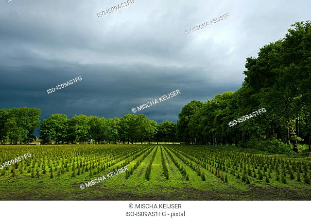 View of tree nursery with thunderstorm overhead