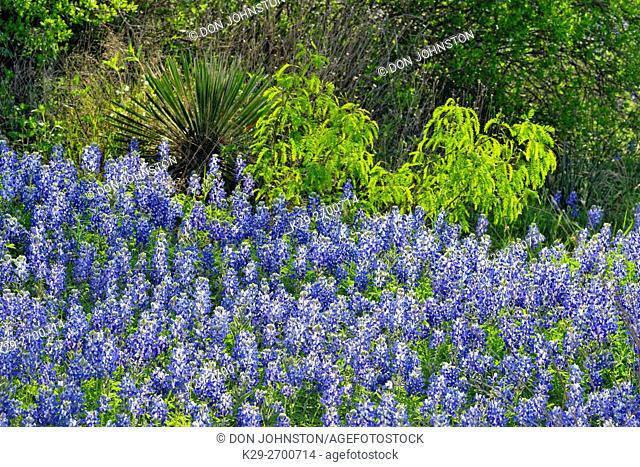 Flowering Texas bluebonnets and spring mesquite tree near Lake Travis, Pace Bend LCRA, Spicewood, Travis County, Texas, USA