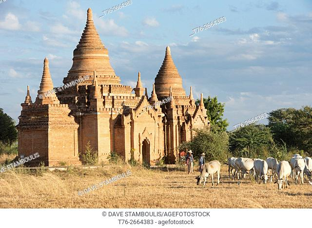 Cattle grazing at the temples in Bagan, Myanmar