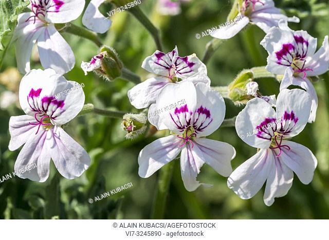 Pelargonium blandfordianum