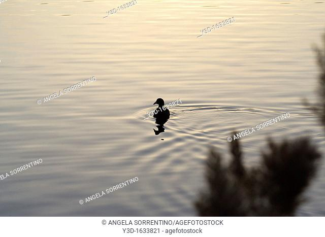 Coot silhouette on lake at sunset