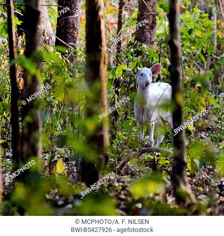 hog deer (Axis porcinus, Hyelaphus porcinus), in forest, India, Assam, Kaziranga National Park