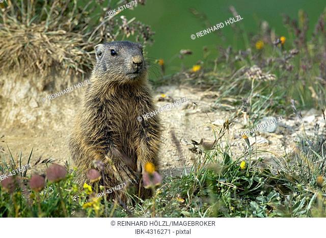Alpine marmot (Marmota marmota), Offspring, vigilant, Alp Trida, Samnaun, Canton of Grisons, Switzerland
