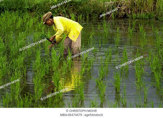 Kubutambahan, farmer in the rice field