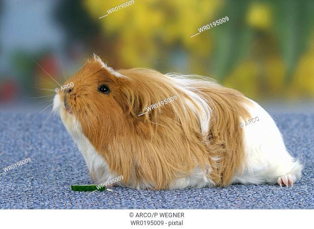 Guinea, Pig