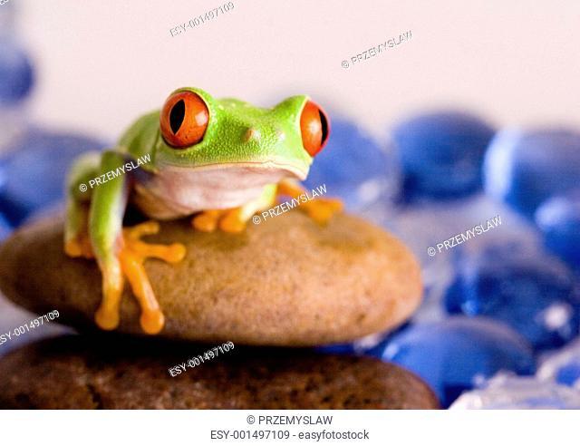 Red eyed tree frog sitting on stone