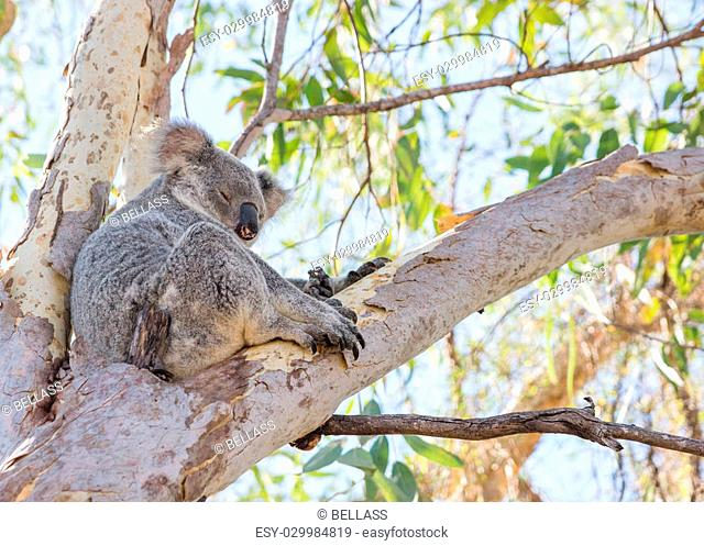 Koala sitting in tree, Magnetic Island, Australia