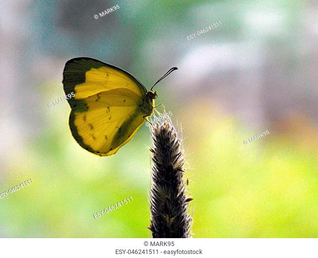 Common Grass Yellow (eurema hecabe) backlit