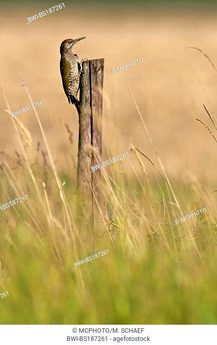 green woodpecker (Picus viridis), sits at a pile, Germany, Rhineland-Palatinate