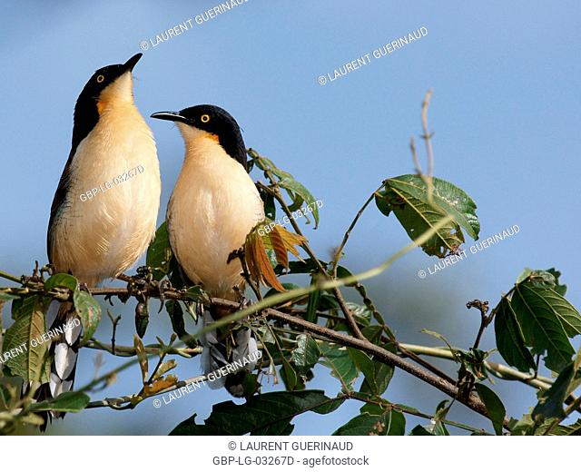 Ave, Thrush-pity-swamp, Pantanal, Mato Grosso do Sul, Brazil