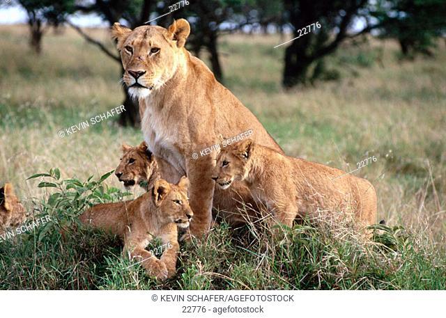 Lioness and cubs (Panthera leo). Masai Mara. Kenya