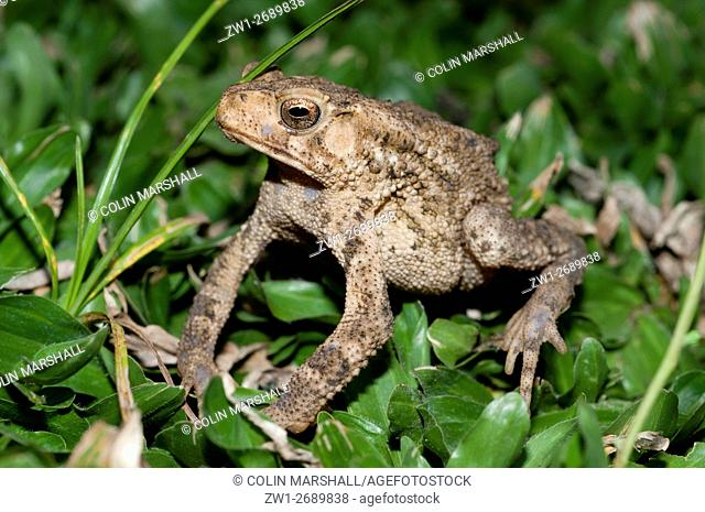 Toad (Bufo sp. ) on grass, Klungkung, Bali, Indonesia