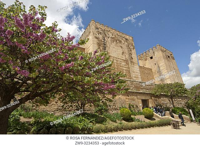 View of the Alcazaba with a Judas tree in front, La Alhambra, Unesco World Heritage Site, province of Granada, Spain, Europe