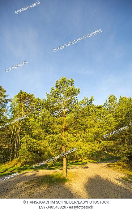 The Scots pine with blue sky in Poland