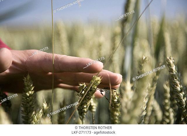 Man's hand touching wheat ears, Allgaeu, Bavaria, Germany