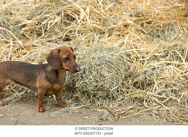 Dachshund, sausage dog at heap of straw in barn, Bavaria, Germany
