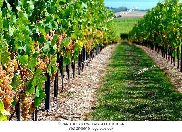 Europe, Switzerland, Canton Vaud, La Côte, Morges district, Féchy vineyards, grape harvest time