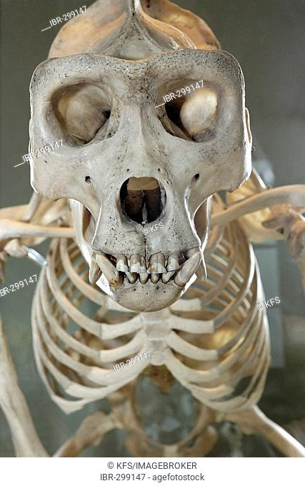 Skull and skeleton of an orang-utan, museum of natural history, castle Rosenstein, Baden-Wuerttemberg, Germany