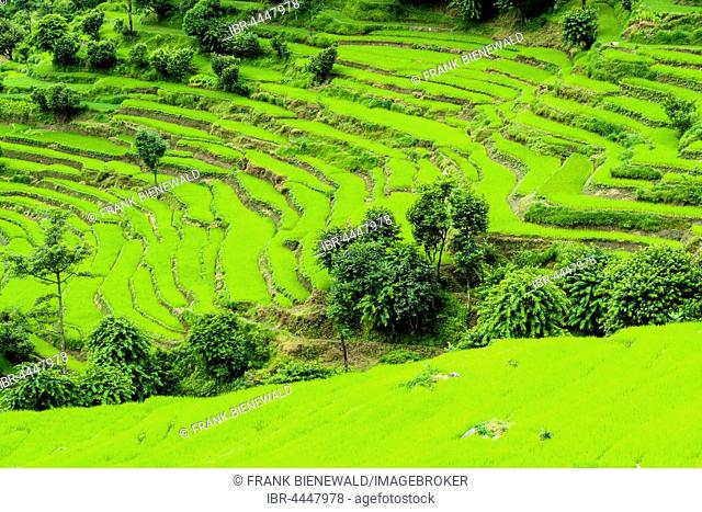 Agricultural landscape, green terrace rice fields, Upper Marsyangdi valley, Bahundanda, Lamjung District, Nepal