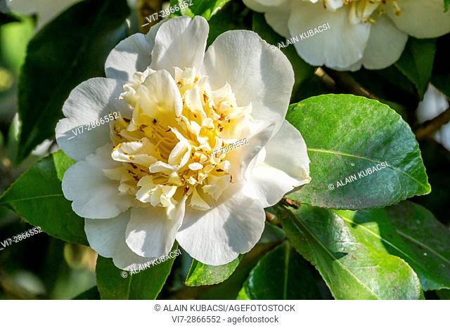 Camellia japonica 'Duchesse Decazes White' (USA) 1950