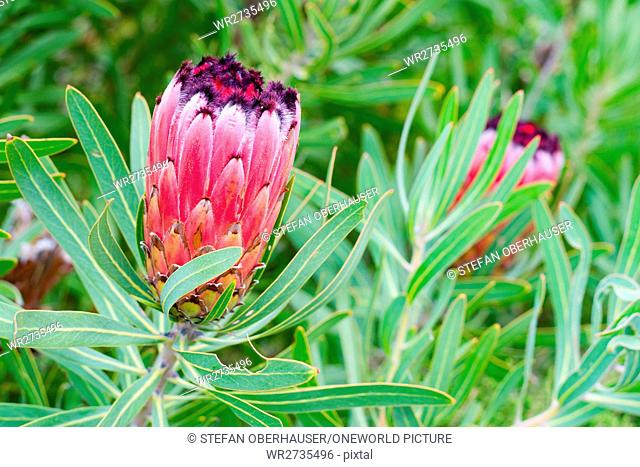 South Africa, Eastern Cape, Western District, Garden Route, Otter Trail, closed flower of sugar bushes (Protea aristata)