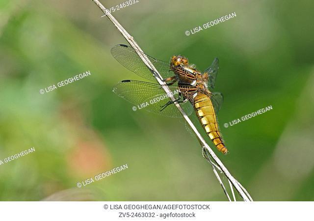 Female Broad-bodied Chaser-Libellula depressa. Uk