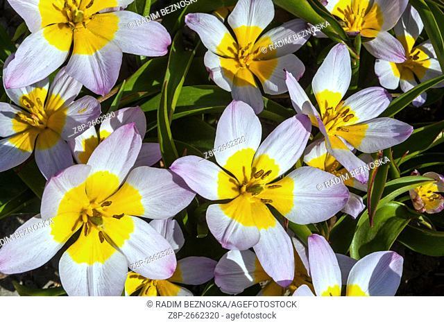 Tulips (Tulipa bakeri 'Lilac Wonder')