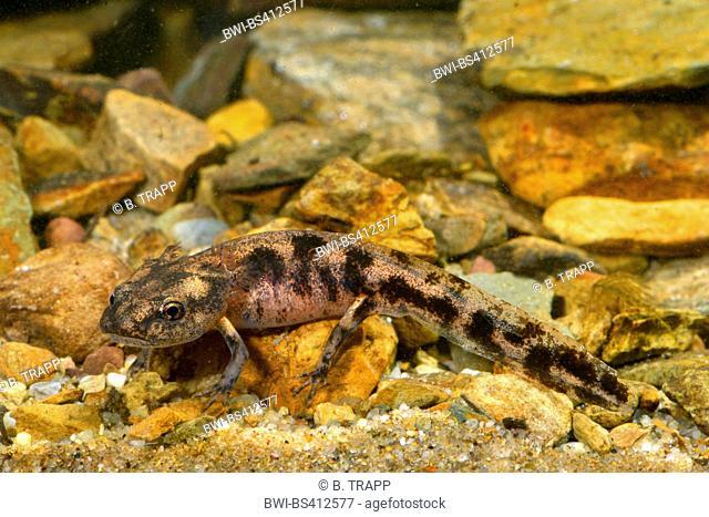 European fire salamander (Salamandra salamandra, Salamandra salamandra terrestris ), larva under water, Germany, North Rhine-Westphalia, Bergisches Land