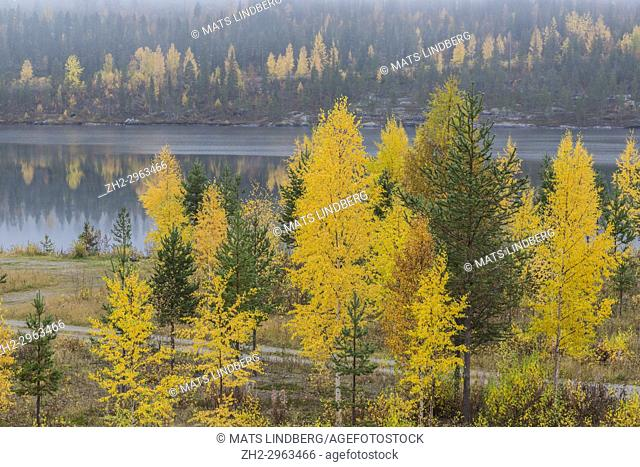 Autumn colored landscape with yellow birch trees and river floating and fog over the trees, Gällivare, Swedish Lapland, Sweden