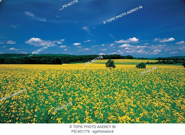 Rape Flowers,Germany
