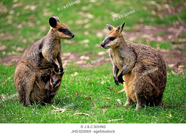 Agile Wallaby, (Macropus agilis), family with Joey in pouch, Cuddly Creek, South Australia, Australia