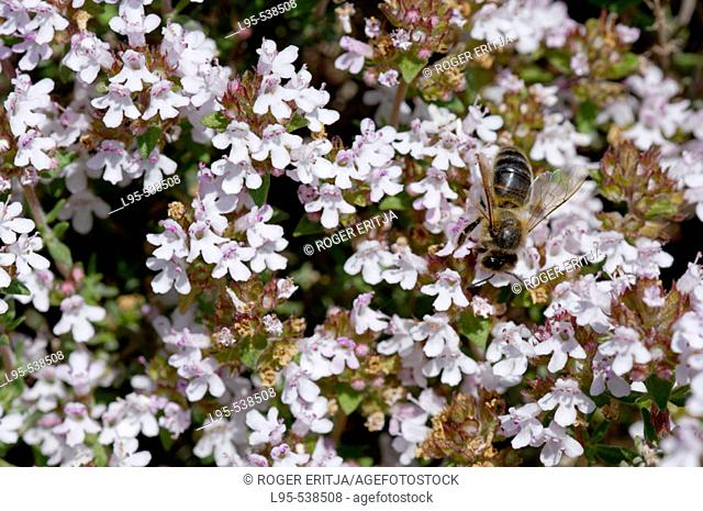Bee pollinating and feeding on the flowers of the common Mediterranean Thyme (Thymus vulgaris) Spain