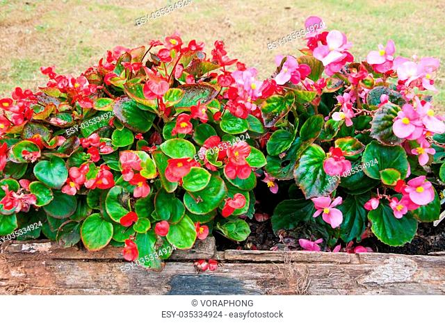Red and pink begonia flower in a wooden log