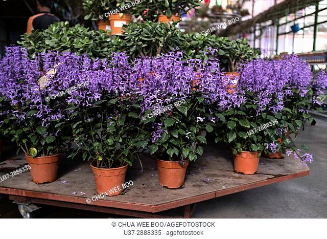 Lavender in flower pots, Cameron Highland, Pahang, Malaysia