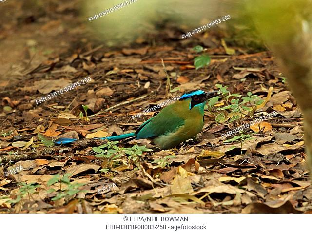 Blue-diademed Motmot (Motomus lessonii lessonii) adult, with prey in beak, foraging amongst leaf litter on ground, Picacho N.P., Honduras, February