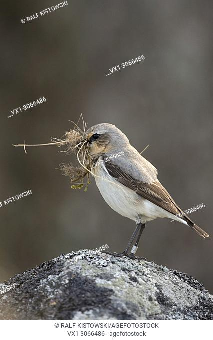 Northern Wheatear (Oenanthe oenanthe) carrying nesting material in its beak, perched on a rock. Sweden