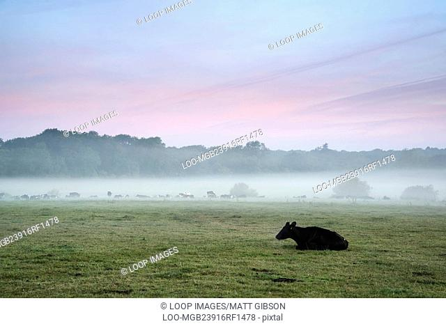 Cows in field during misty sunrise in English countryside