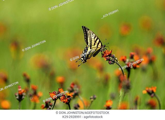 Canadian tiger swallowtail (Papilio canadensis) Nectaring orange hawkweed flowers, Greater Sudbury, Ontario, Canada