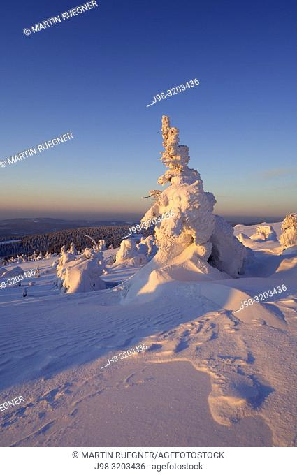 Snow-covered Norway spruce trees (Picea abies). Brocken (Mountain), National Park Hochharz, Saxony-Anhalt, Germany, Europe