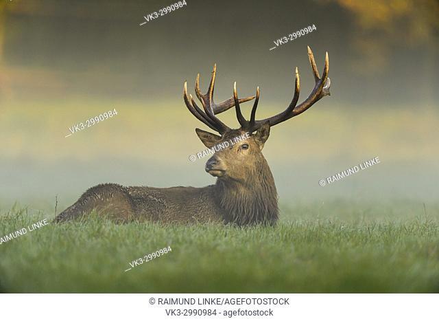 Red deer, Cervus elaphus, Male, in Rutting Season with Morning Mist, Europe