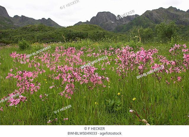 meadow campion, ragged-robin Lychnis flos-cuculi, Silene flos-cuculi, in mountain meadow, Norway, Lofoten
