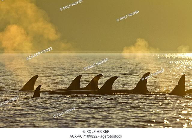Pod of Oracs, Orcinus Orca, Northern Johnstoe Straiot, Vancouver island , BC, Canada