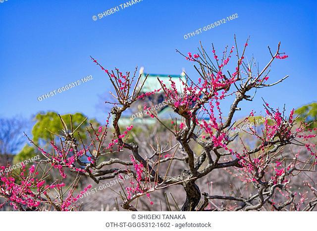 Plum(Ume) blossoms at Osaka castle plum garden, Osaka, Japan