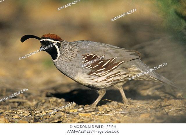 Gambel's Quail (Callipepla gambelii), male, AZ