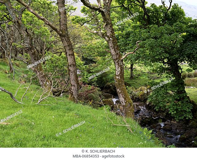 Northern Ireland, county Fermanagh, old maple trees on stream course, close Enniskillen