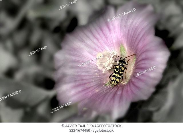 Wasp Beetle Spanish, Neoplagionotus marcae, Toledo, Castile-La Mancha, Spain